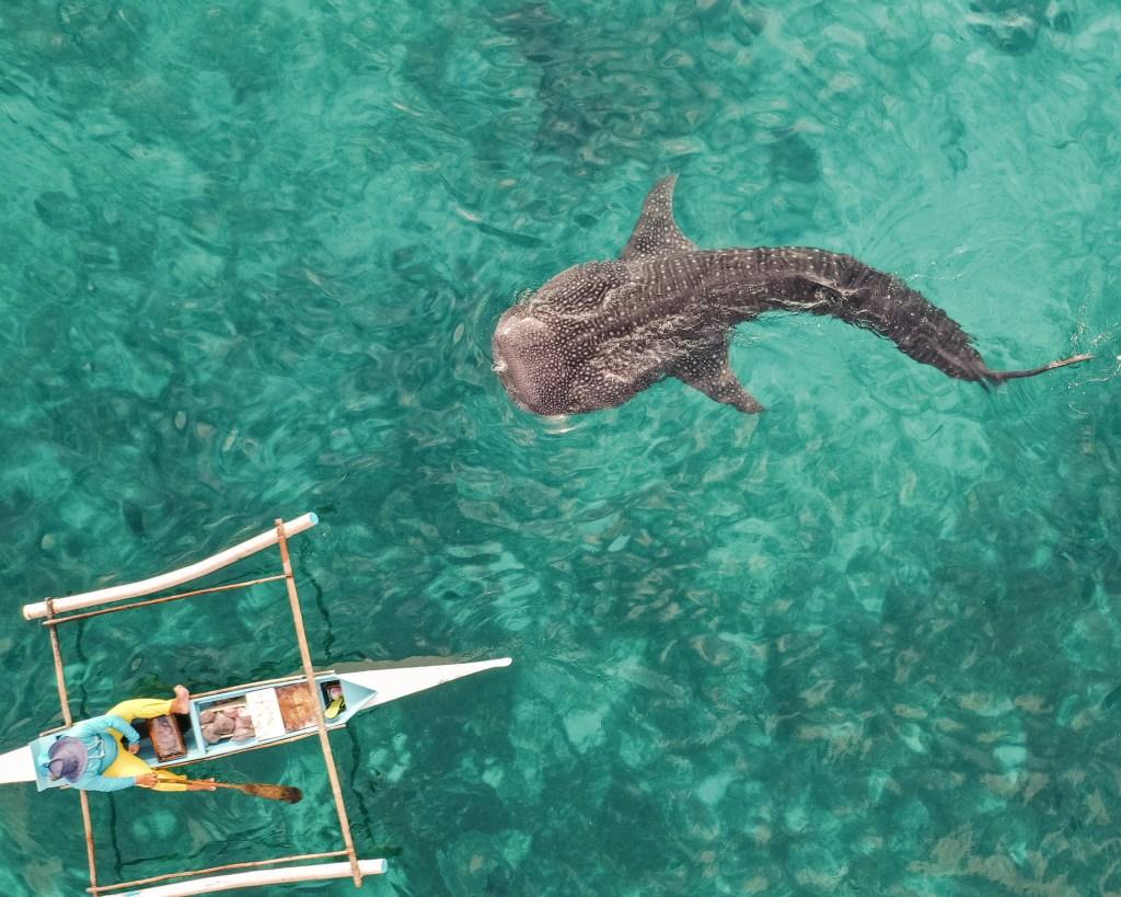 שחייה עם כרישי לוויתן באוסלוב פיליפינים - סבו (מואלבואל)2