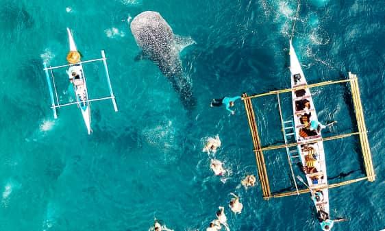 שחייה עם כרישי לוויתן באוסלוב פיליפינים - סבו (מואלבואל)4